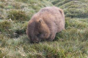 wombat Tasmania 2014 smallest version