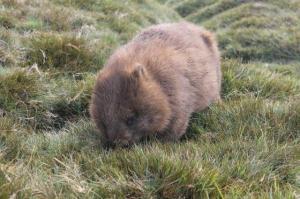 wombat Tasmania 2014 smallest version