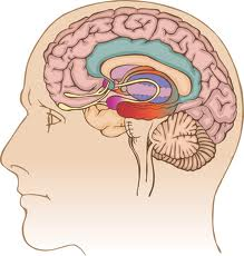 limbic system 2